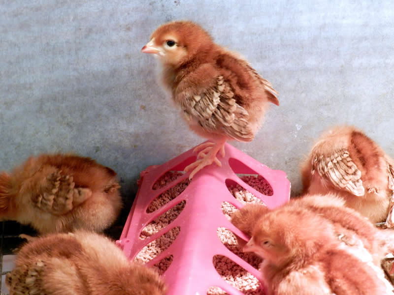 How to raise chickens for eggs and meat - chicks poop