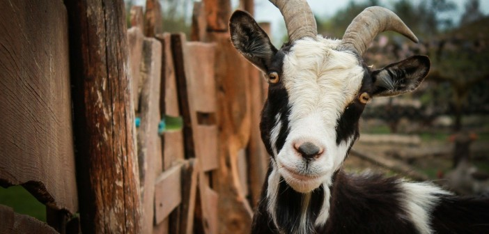 How to Raise Goats on a Homestead